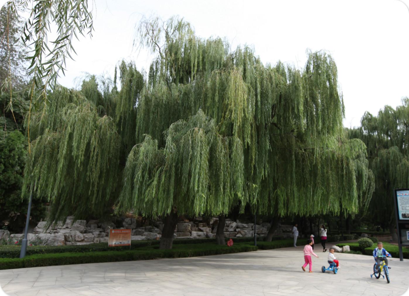 公园中的垂柳